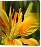 Beautiful Yellow Lily Canvas Print
