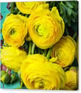 Beautiful Yellow Ranunculus Canvas Print
