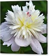 Beauty Can't Be Dampened - Festiva Maxima Double Peony Canvas Print