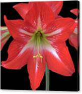 Beauty Of The Amaryllis Canvas Print