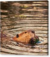 Beaver Feeding Canvas Print