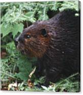 Beaver In Forest Canvas Print