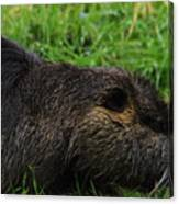 Beaver Whiskers Canvas Print