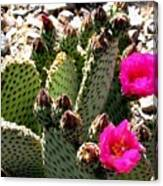 Beavertail Cactus Canvas Print