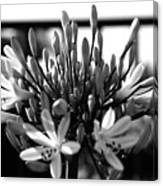 Becoming Beautiful - Bw Canvas Print