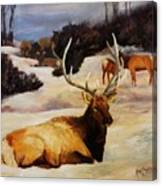 Bedded Down   Bull Elk In Snow Canvas Print