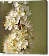 Bee And Blossoms Canvas Print