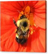 Bee And Nasturtium Canvas Print