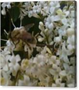 Bee And Small White Blossoms 2 Canvas Print