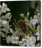 Bee And Small White Blossoms Canvas Print