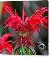 Bee Balm Canvas Print