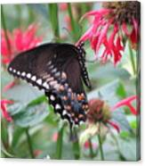 Bee Balm Butterfly Canvas Print
