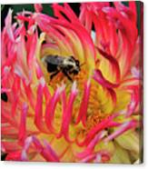 Bee In Dahlia Canvas Print