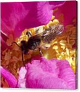 Bee In The Rugosa Canvas Print