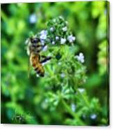 Bee Is In The Oregano Canvas Print