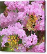 Bee On A Crepe Myrtle Flower Canvas Print