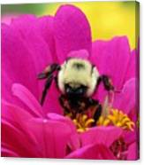 Bee On A Hot Pink Zinnia Canvas Print