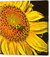 Bee On A Sunflower Canvas Print