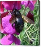 Bee On A Sweetpea 2 Canvas Print