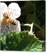 Bee On Blackberry Blossom Canvas Print