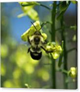 Bee On Broccoli Flower Canvas Print