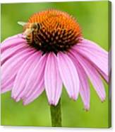 Bee On Cone Flower Canvas Print