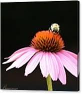 Bee On Coneflower 2 Canvas Print