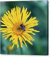 Bee On Curlyhead Goldenweed Canvas Print