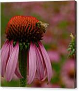 Bee On Echinacea Canvas Print