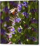 Bee On Echium Canvas Print