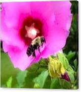 Bee On Edge Of A Hibiscus Flower Canvas Print