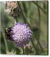 Bee On Flower 5. Canvas Print
