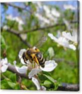 Bee On Flower On Tree Branch Canvas Print