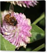 Bee On Gomphrena Canvas Print