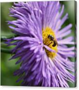 Bee On Purple Daisy Canvas Print