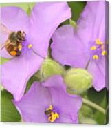 Bee On Purple Spiderwort Canvas Print