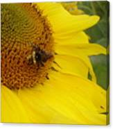 Bee On Sunflower 3 Canvas Print