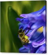 Bee On The Hyacinth Canvas Print