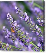 Bee On The Lavender Canvas Print