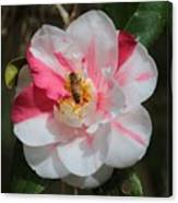 Bee On White And Pink Camellia Canvas Print