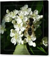 Bee On White Flowers 2 Canvas Print