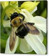 Bee On White Canvas Print