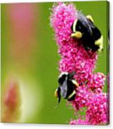 Bee Pink Canvas Print