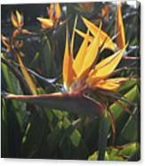 Bee Resting On The Petals Of A Bird Of Paradise  Canvas Print