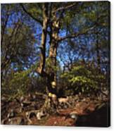 Beech Trees Coming Into Leaf  In Spring Padley Wood Padley Gorge Grindleford Derbyshire England Canvas Print