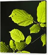 Beech Twig Detail Canvas Print