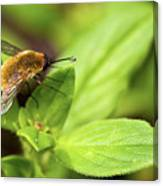 Beefly Canvas Print