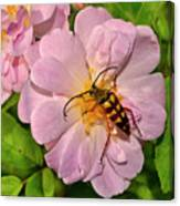 Beetle In A Rose 003 Canvas Print