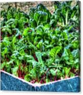 Beets And Chard Canvas Print