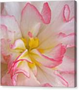Begonia Pink Frills - Horizontal Canvas Print